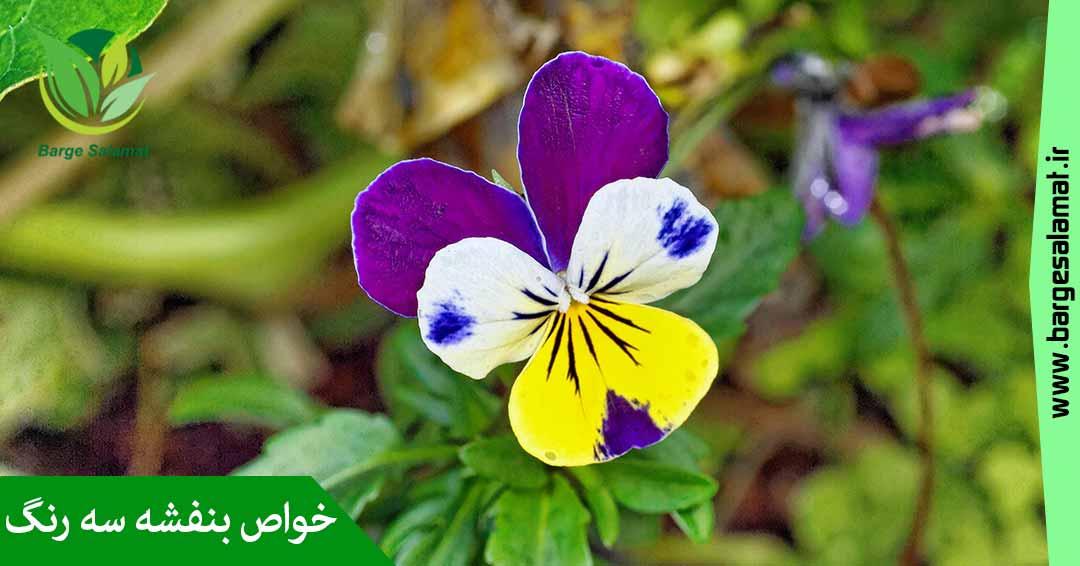 خواص گل بنفشه سه رنگ